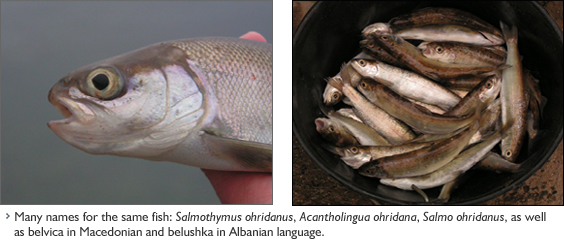 Salmo (Salmothymus) ohridanus